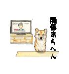 柴犬のここが好き10(個別スタンプ:11)