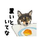 柴犬のここが好き10(個別スタンプ:18)