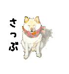 柴犬のここが好き10(個別スタンプ:26)