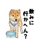 柴犬のここが好き10(個別スタンプ:34)