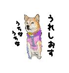 柴犬のここが好き10(個別スタンプ:35)