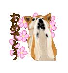 王道の犬!柴犬(個別スタンプ:33)
