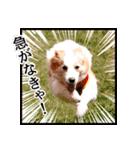 ボーダーコリー/おでか犬(個別スタンプ:01)