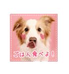 ボーダーコリー/おでか犬(個別スタンプ:02)
