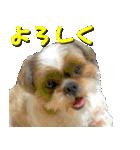 シーズー犬の可愛いスタンプ☆(個別スタンプ:01)