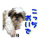 シーズー犬の可愛いスタンプ☆(個別スタンプ:05)
