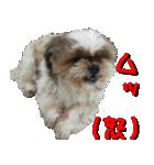 シーズー犬の可愛いスタンプ☆(個別スタンプ:07)