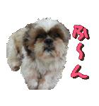 シーズー犬の可愛いスタンプ☆(個別スタンプ:08)