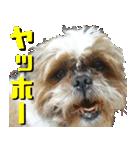 シーズー犬の可愛いスタンプ☆(個別スタンプ:12)