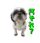 シーズー犬の可愛いスタンプ☆(個別スタンプ:13)
