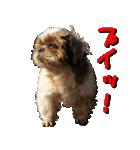 シーズー犬の可愛いスタンプ☆(個別スタンプ:14)