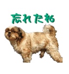 シーズー犬の可愛いスタンプ☆(個別スタンプ:18)