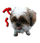 シーズー犬の可愛いスタンプ☆(個別スタンプ:21)