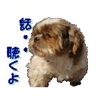 シーズー犬の可愛いスタンプ☆(個別スタンプ:22)