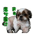 シーズー犬の可愛いスタンプ☆(個別スタンプ:23)