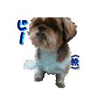 シーズー犬の可愛いスタンプ☆(個別スタンプ:24)