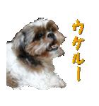 シーズー犬の可愛いスタンプ☆(個別スタンプ:29)
