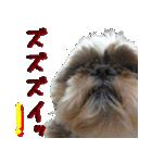 シーズー犬の可愛いスタンプ☆(個別スタンプ:31)