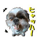 シーズー犬の可愛いスタンプ☆(個別スタンプ:32)