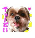 シーズー犬の可愛いスタンプ☆(個別スタンプ:33)