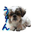 シーズー犬の可愛いスタンプ☆(個別スタンプ:35)
