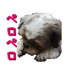 シーズー犬の可愛いスタンプ☆(個別スタンプ:36)
