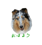 rough collies love 1(個別スタンプ:01)