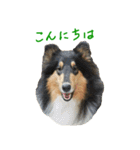 rough collies love 1(個別スタンプ:02)