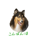 rough collies love 1(個別スタンプ:03)