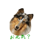 rough collies love 1(個別スタンプ:05)