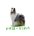 rough collies love 1(個別スタンプ:07)