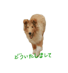 rough collies love 1(個別スタンプ:08)