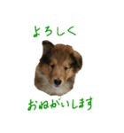 rough collies love 1(個別スタンプ:12)