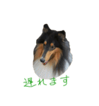rough collies love 1(個別スタンプ:15)
