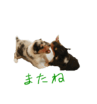 rough collies love 1(個別スタンプ:18)