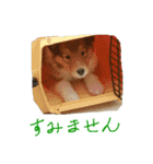 rough collies love 1(個別スタンプ:19)