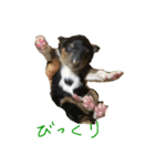 rough collies love 1(個別スタンプ:23)