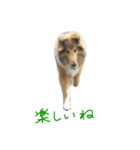 rough collies love 1(個別スタンプ:24)