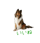 rough collies love 1(個別スタンプ:28)