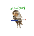 rough collies love 1(個別スタンプ:30)
