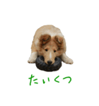 rough collies love 1(個別スタンプ:39)