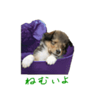 rough collies love 1(個別スタンプ:40)