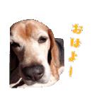 ビーグルの写真スタンプ(個別スタンプ:03)