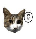 キジ白にゃんこ【リアル】(個別スタンプ:01)