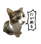 キジ白にゃんこ【リアル】(個別スタンプ:05)