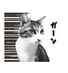 キジ白にゃんこ【リアル】(個別スタンプ:06)