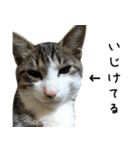キジ白にゃんこ【リアル】(個別スタンプ:07)