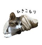 キジ白にゃんこ【リアル】(個別スタンプ:12)