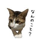 キジ白にゃんこ【リアル】(個別スタンプ:24)