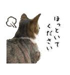 キジ白にゃんこ【リアル】(個別スタンプ:27)